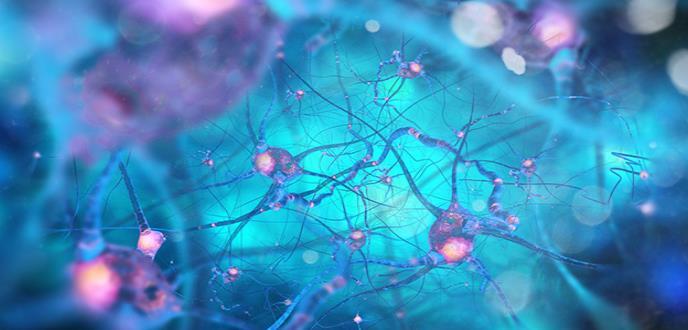 Se afirma que no se presenta creación de nuevas neuronas durante la edad adulta
