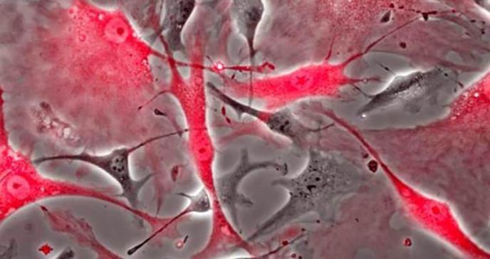 Describen dónde se encuentran las células madre en el corazón y su evolución en función de la edad