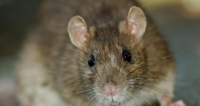 Detectan el primer caso en humanos de hepatitis de rata