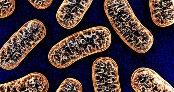El ADN mitocondrial también se hereda por vía paterna