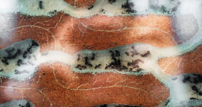 Hormigas: nueva fuente de antibióticos
