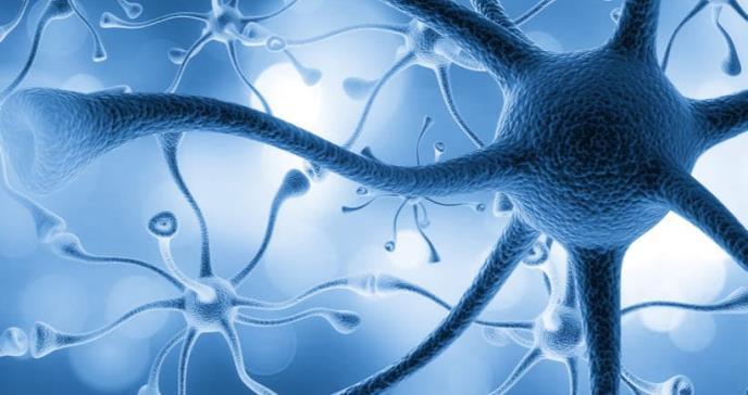 Los genes involucrados en el autismo alteran el crecimiento y la migración de las neuronas del córtex cerebral