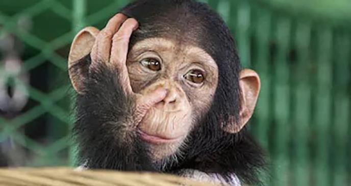 Monos se vuelven más inteligentes después de que científicos implantan genes humanos en sus cerebros
