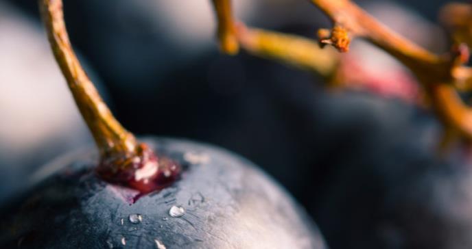 Terapias para combatir el cáncer a partir de una sustancia presente en las uvas