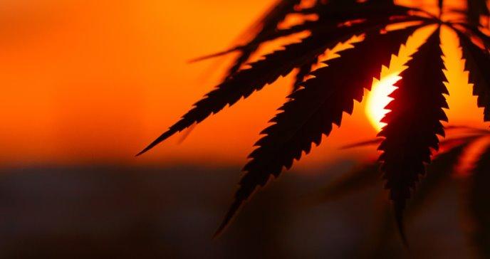 Cultivar cannabis en grandes cantidades afecta el medio ambiente más que las minas de carbón