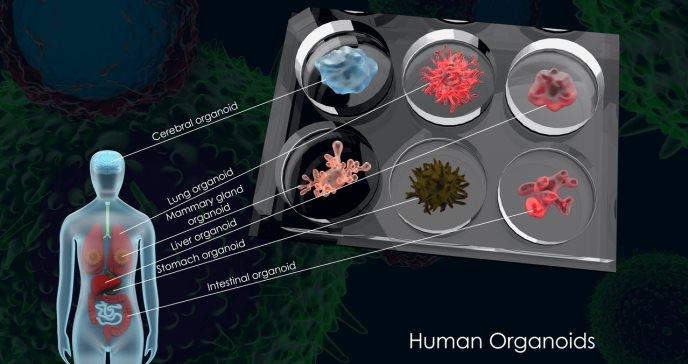 Fabricado primer sistema funcional de tres organoides humanos: hígado, páncreas y tracto biliar