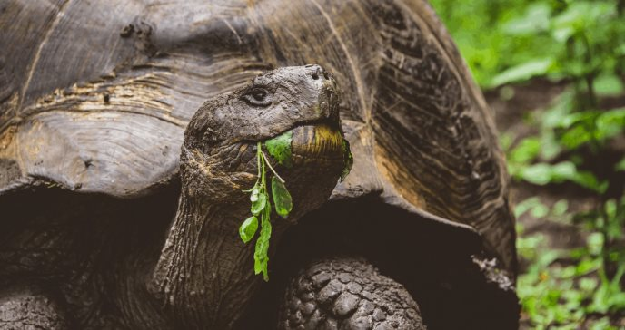 La acción humana, clave en la resistencia a antibióticos de las tortugas