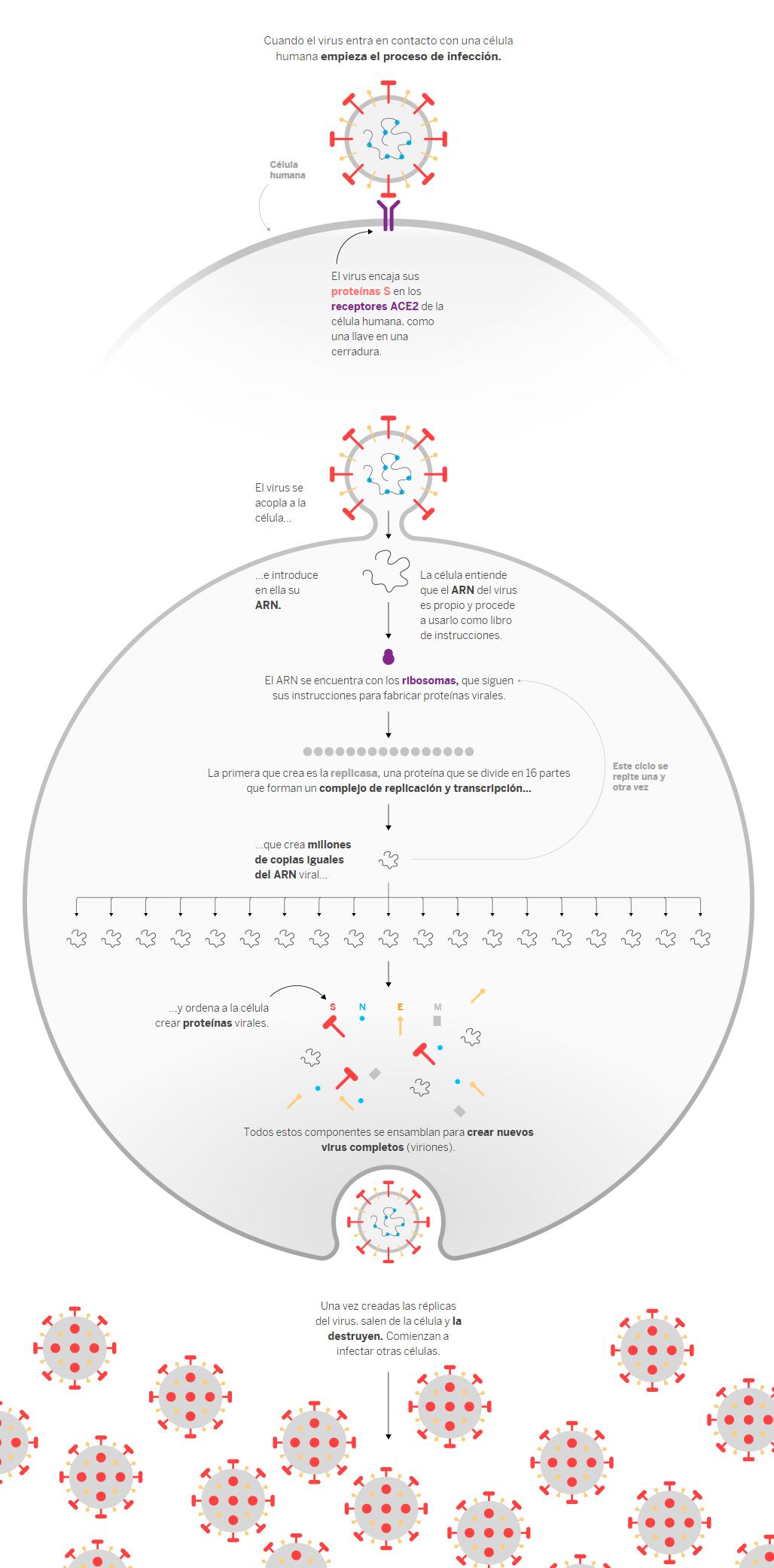 Cuando el virus entra en contacto con una célula humana empieza el proceso de infección.