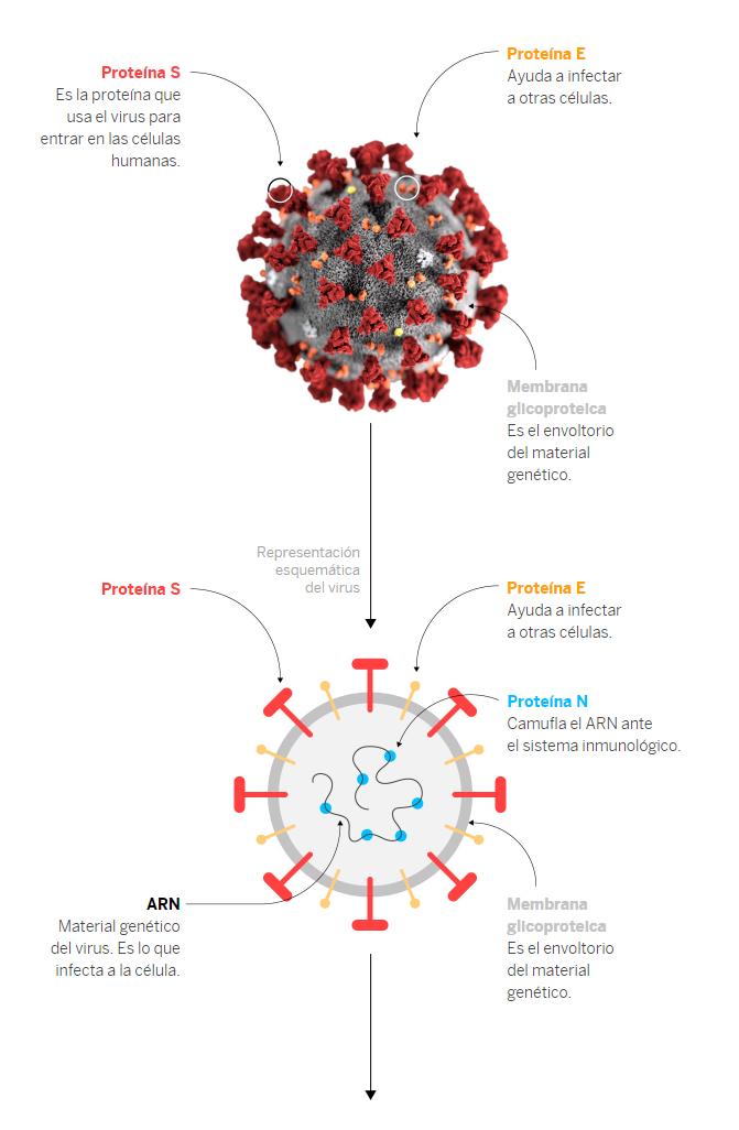 Los coronavirus reciben su nombre porque visto con microscopio se asemeja a la corona (atmósfera) solar.