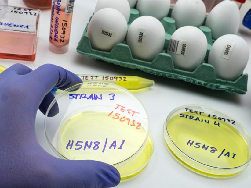 Nuevo agente H5N8 viral que es transmitido por aves de corral.